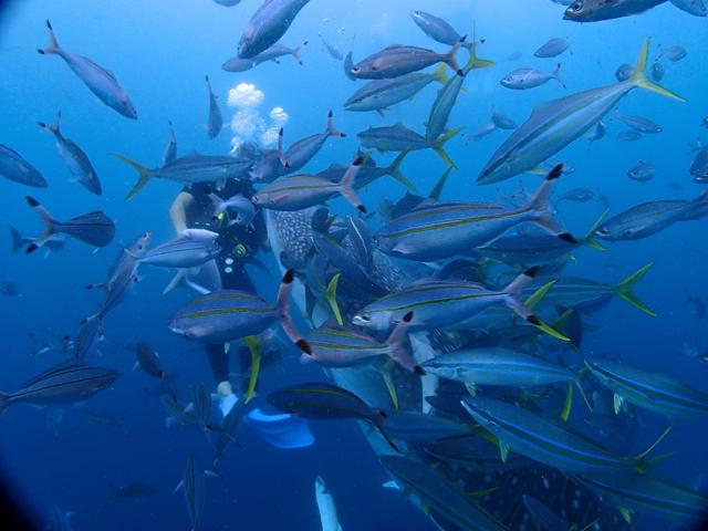魚群とジンベイザメ